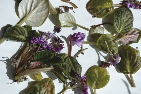Rotten withered violet flowers with shadow on white background. Green plant on windowsill in winter and autumn season. Nature background with copyspace. Stock photo. Imagens