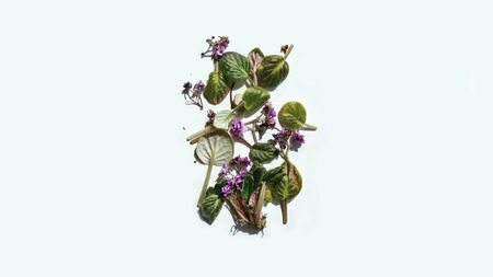 Rotten withered violet flowers with shadow on white background. Green plant on windowsill in winter and autumn season. Nature banner background with copyspace. Stock photo.