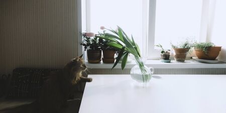 Red cat with yellow eyes sitting on chair and looking on green plants. Pink tulips in vase on white table. Home lifestyle. Flowers on windowsill. Domestic animal. Stock photo.
