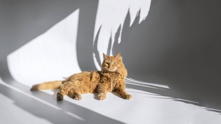 Cute red cat with lying on white table with hard shadow from tropical plants. Banner background with copy space. Domestic pet. Stock photo. Imagens