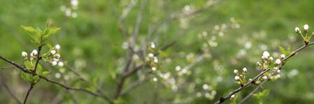 Blooming cherry tree on green grass background. Beautiful nature landscape. Sakura plant. Stock photo Imagens