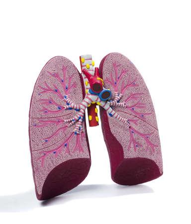 anatomia: modelo de estudio de plástico de un pulmón Foto de archivo