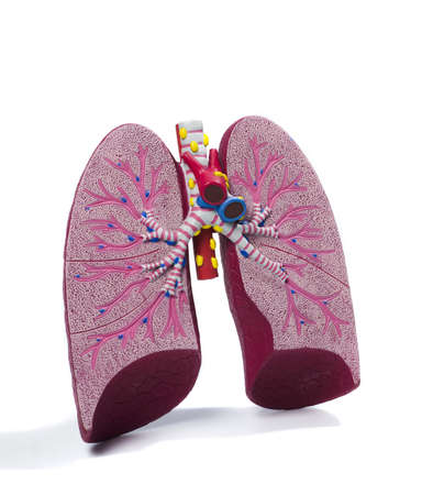 plastic study model of a lung Stock Photo