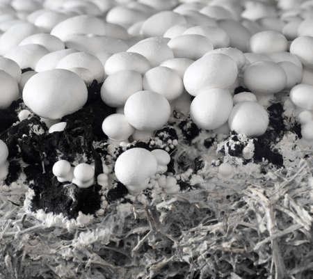 champignons blancs dans les �coles maternelles