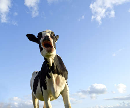 astonished looking cow with a bleu sky background