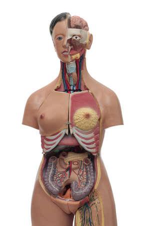 medical study model of human body