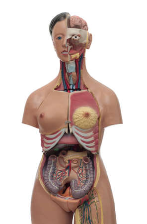 medical study model of human body