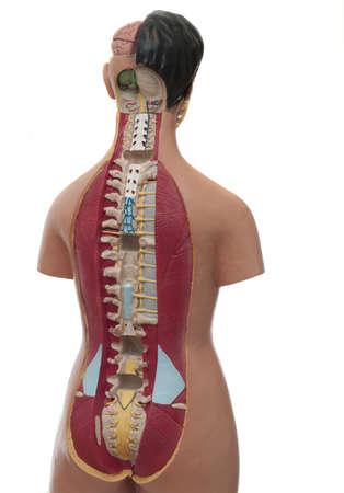 Modelo De Estudio Médico Del Cuerpo Humano Fotos, Retratos, Imágenes ...