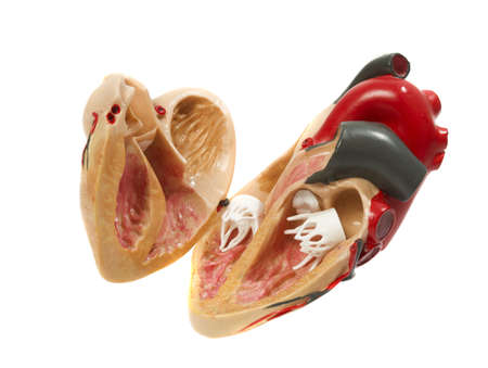 plastic study model of a heart