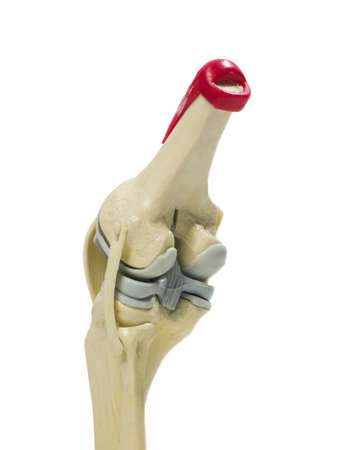 plastic study model of a knee Stock Photo
