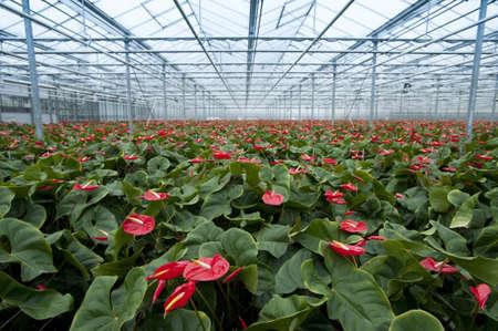 anthurium nursery in holland Standard-Bild