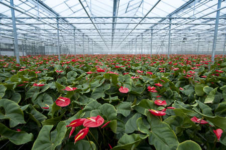 anthurium nursery in holland Stock Photo