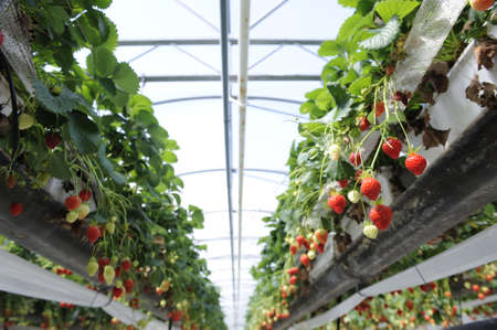 row of strawberry plants in a greenhouse