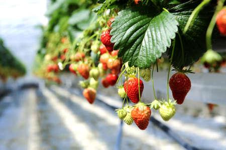 strawberrys in a glasshouse