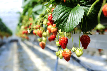 strawberrys in a glasshouse