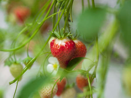strawberrys in a greenhouse
