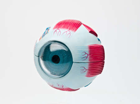anatomic study tool of an human eye