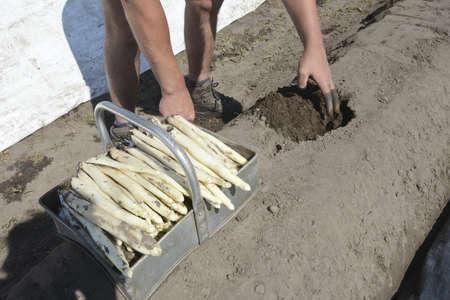 la r�colte d'asperges blanches