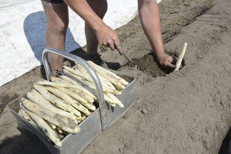 r�colte des asperges blanches