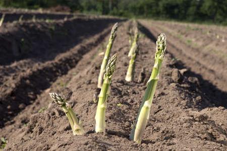 Aparagus de plus en plus Banque d'images