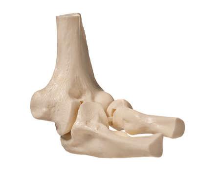 anatomic study tool of an human elbow