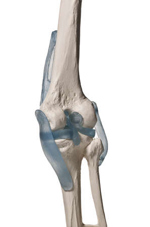 anatomic study tool of an human knee  Stock Photo