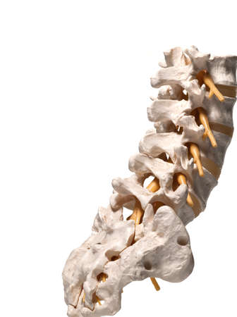 anatomic study tool of an human spine