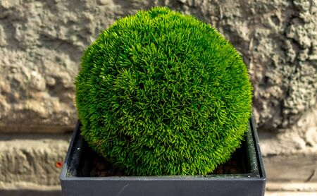 Green plant, trimmed in the shape of a ball, in a tub.