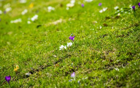 Multicolored spring flowers on a green lawn, shot with a shallow depth of field