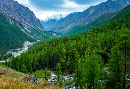 Thick coniferous flock on the banks of the mountain river Maashey in the Altai Republic.