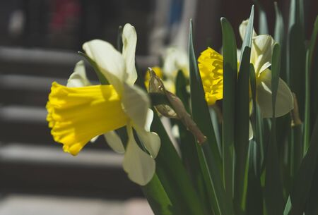 Low-contrast image of flowering daffodils in Sunny weather