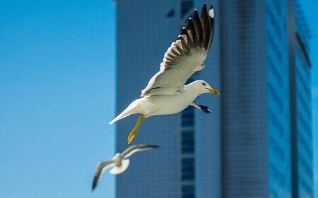 White sea gull in the background of a skyscraper.
