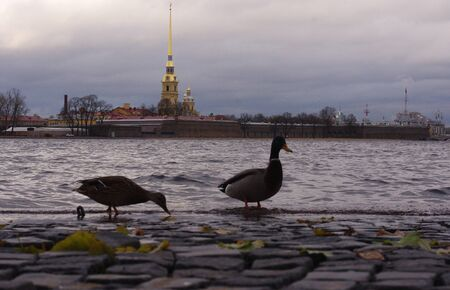 Ducks on a stone block on the background of Peter and Paul Fortress in St. Petersburg.