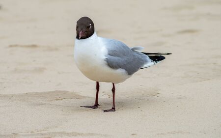 White-gray gull with a black head on the background of the sand of the beach.