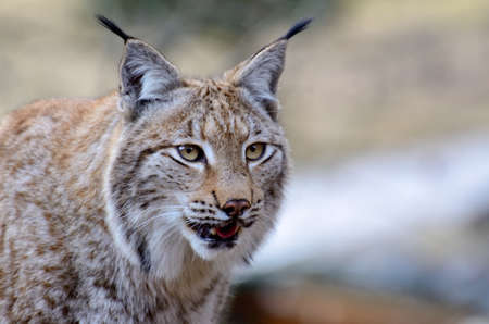 lurking: Lurking Lynx in the wilderness