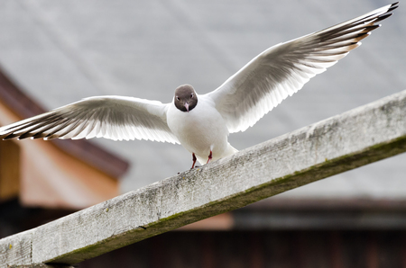 head start: White seagull with brown head and wings outstretched on a wooden railing just before the start