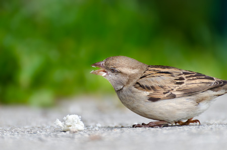 envisage: Young sparrow, which has discovered a large bread chunk. It picks the chunk, green background. Stock Photo