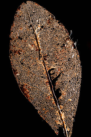 exempt: Skeleton of a Crumbled Book leaf exempt in front of black background