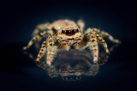 Common brown jumping spider that runs over a black background and is reflecting itself