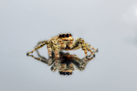Common brown jumping spider that runs over a white background and is reflecting itself