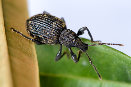 abietis: Big brown weevil (Hylobius abietis Curculionidae) crawling on a green leaf Stock Photo