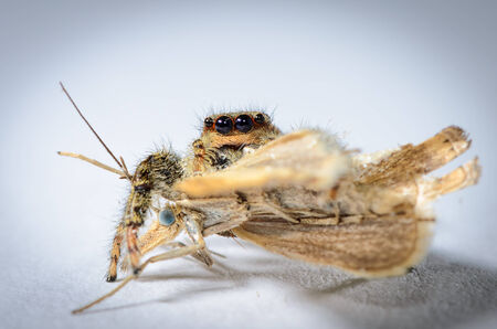 Common jumping spider has just caught a moth did. Shot in studio against a white background
