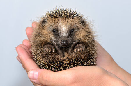front raise: Two hands form a shell in Which a hedgehog baby sits and looks at the viewer curious. Shot in studio against a white background