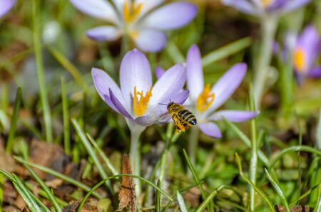 fever plant: Bee in landing approach on purple crocus in the spring