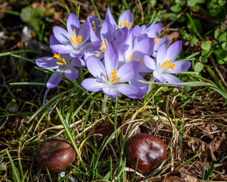 fever plant: Purple crocus with chestnuts on the meadow showing, that winter is over and spring is coming