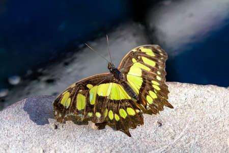 swallowtails: European swallowtail ready for take off (Papilio machaon)