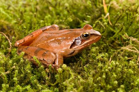 Frog sitting in ambush on green moss. It´s a spring frog (Rana dalmatina).