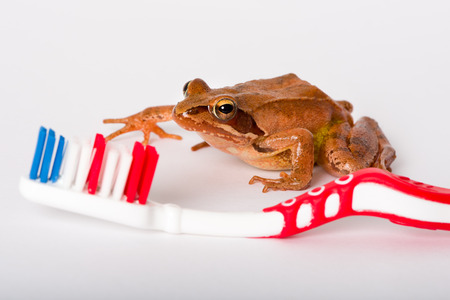 rana: Don´t be a Frog, brush your teeth. Frog discovering a toothbrush, isolated on white background. It´s a spring frog (Rana dalmatina).