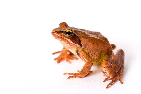 rana: Rana que se sienta aislado en el fondo blanco. Es una rana de primavera (Rana dalmatina).