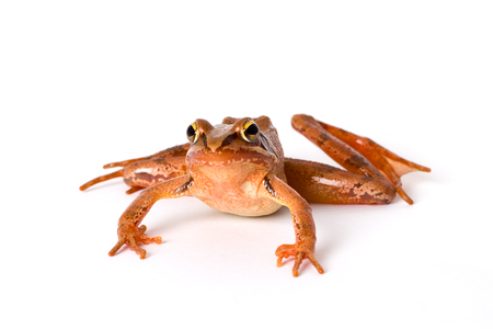 rana: Frog crawling isolated on white background. It´s a spring frog (Rana dalmatina). Stock Photo